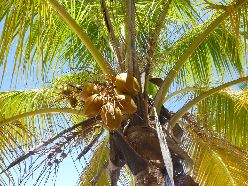 kokosy na palmě